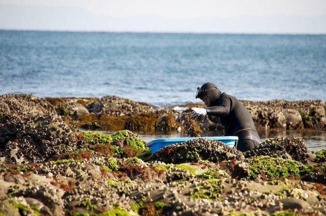 Buzo recolectando alga hijiki