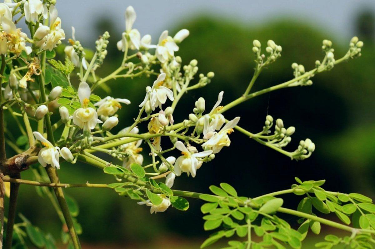 Moringa oleifera, las propiedades del árbol de la vida