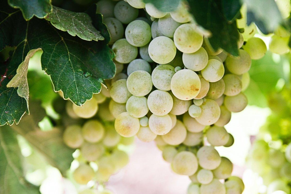 Diferencias entre el tipo de uva del champagne y del cava
