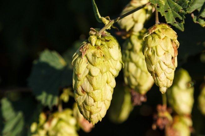El lúpulo es el componente que le da aroma a las cervezas