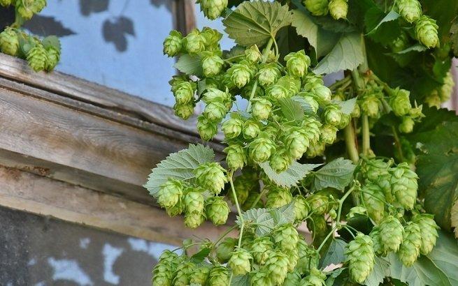 El lúpulo es la clave del éxito de las cervezas IPA