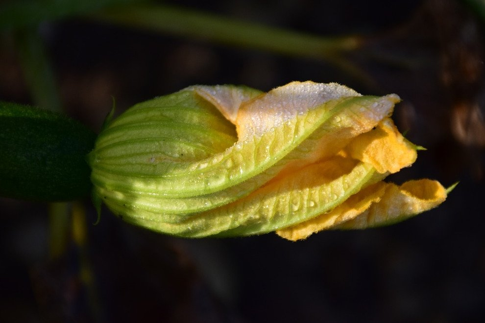 Flor de calabaza a punto de recoger