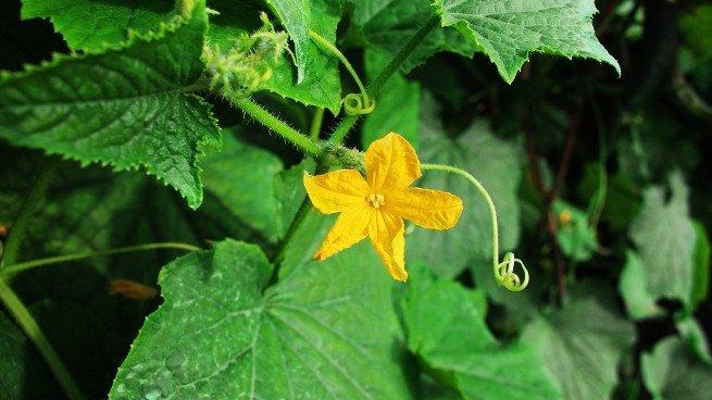 Flor joven de calabaza