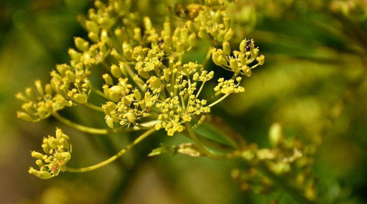 Flor Pastinaca Sativa