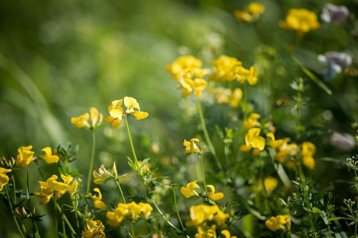 Flores de la planta alholva