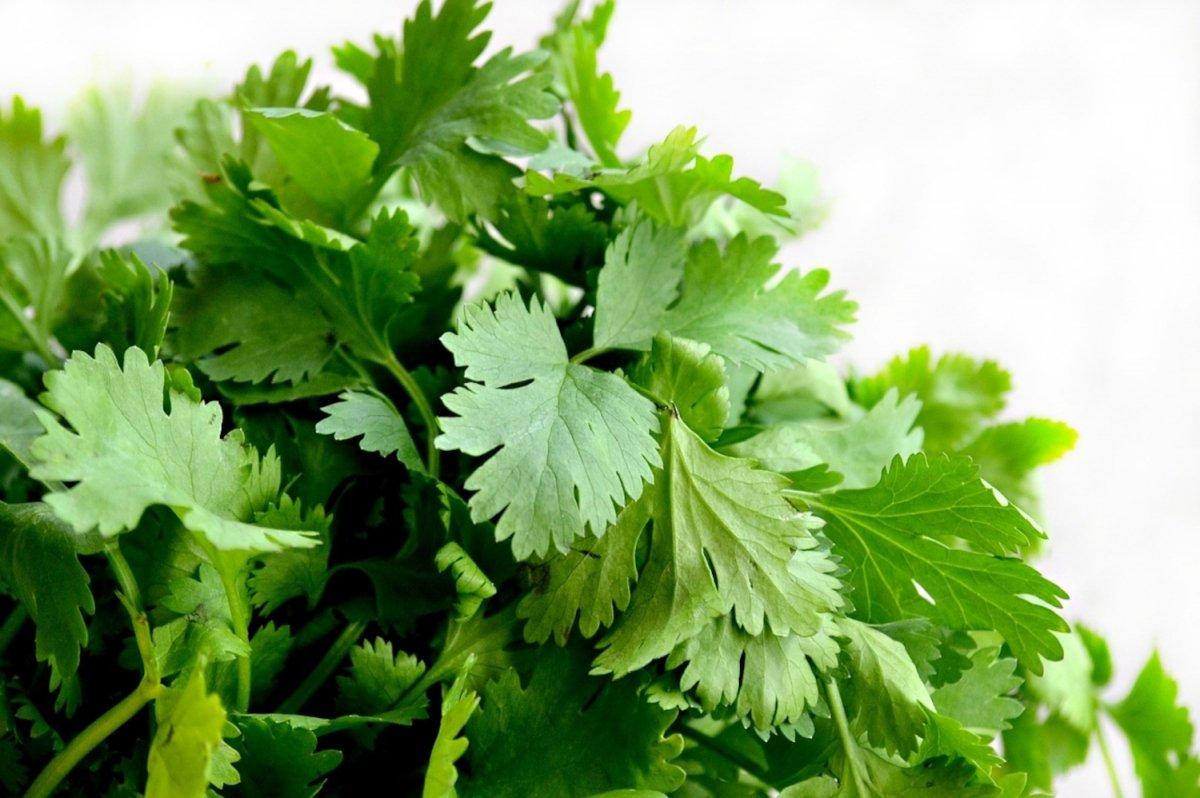 El cilantro, mucho más que un condimento