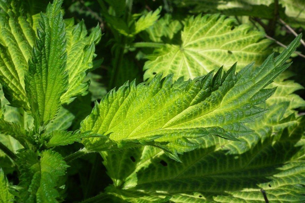 Shiso, saludable y sabrosa planta oriental