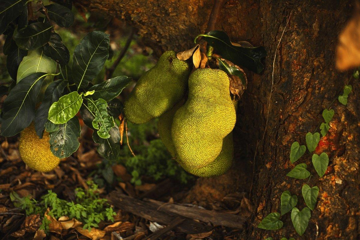 Yaca o jackfruit: Una delicia exótica de moda entre los veganos