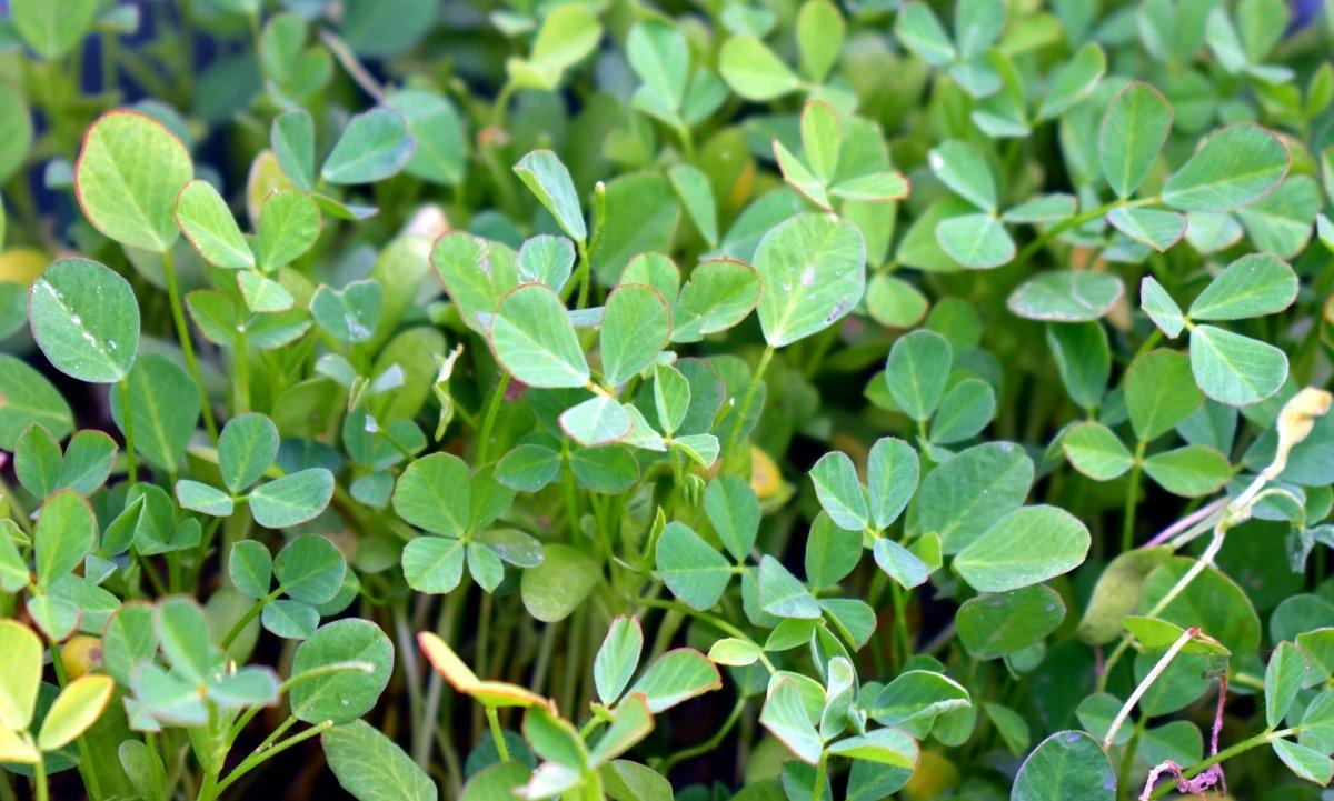 Planta alholva o fenogreco
