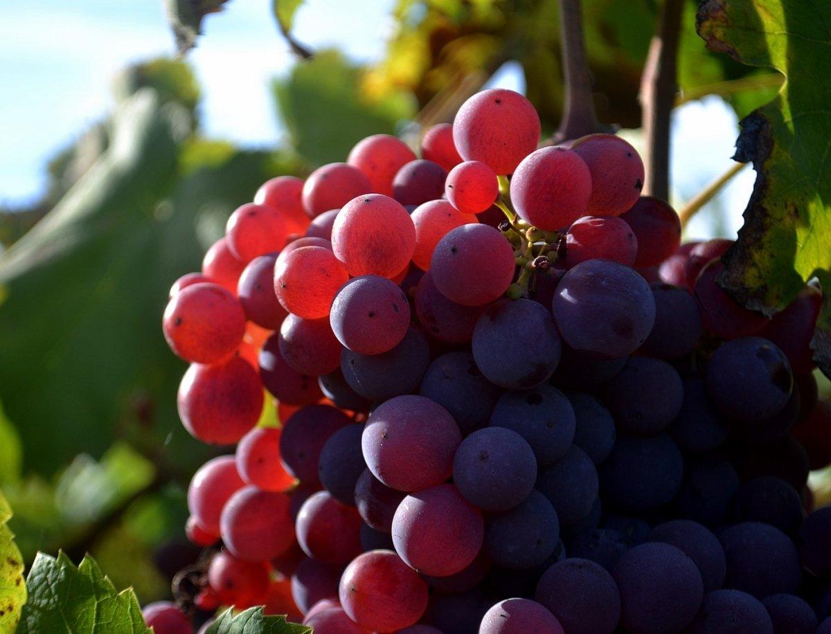 Racimos de uva de Cartoixà Vermell