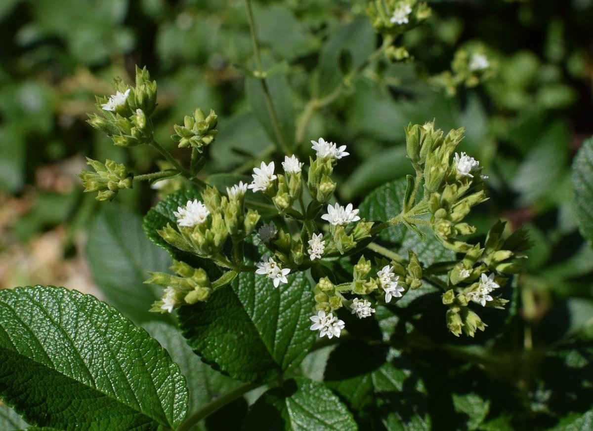 Stevia rebaudiana con flores