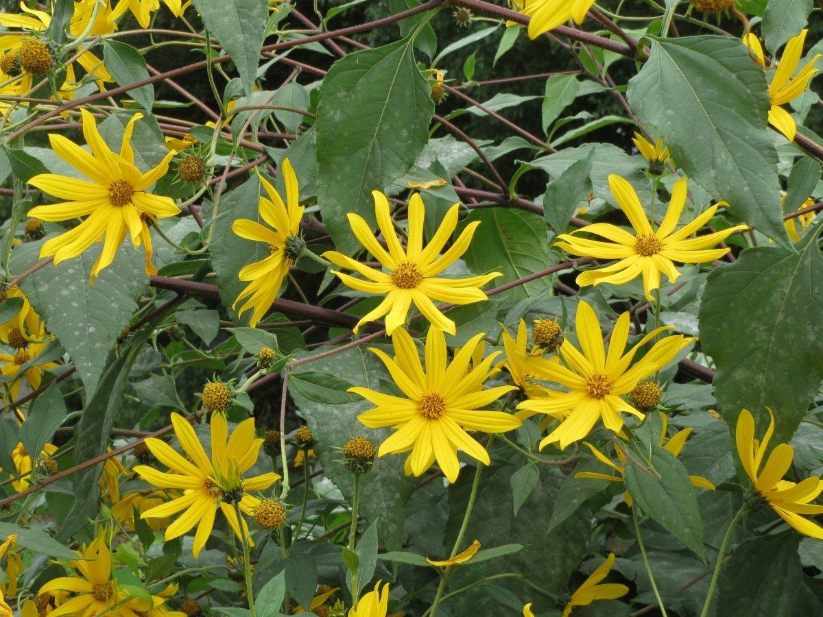 Tiene unas grandes flores amarillas que recuerdan a las margaritas