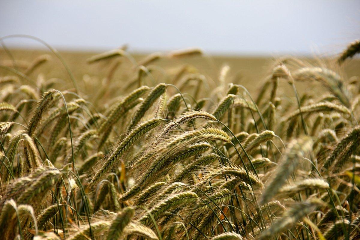 Variedades de cereales de las que se obtiene el tritordeum