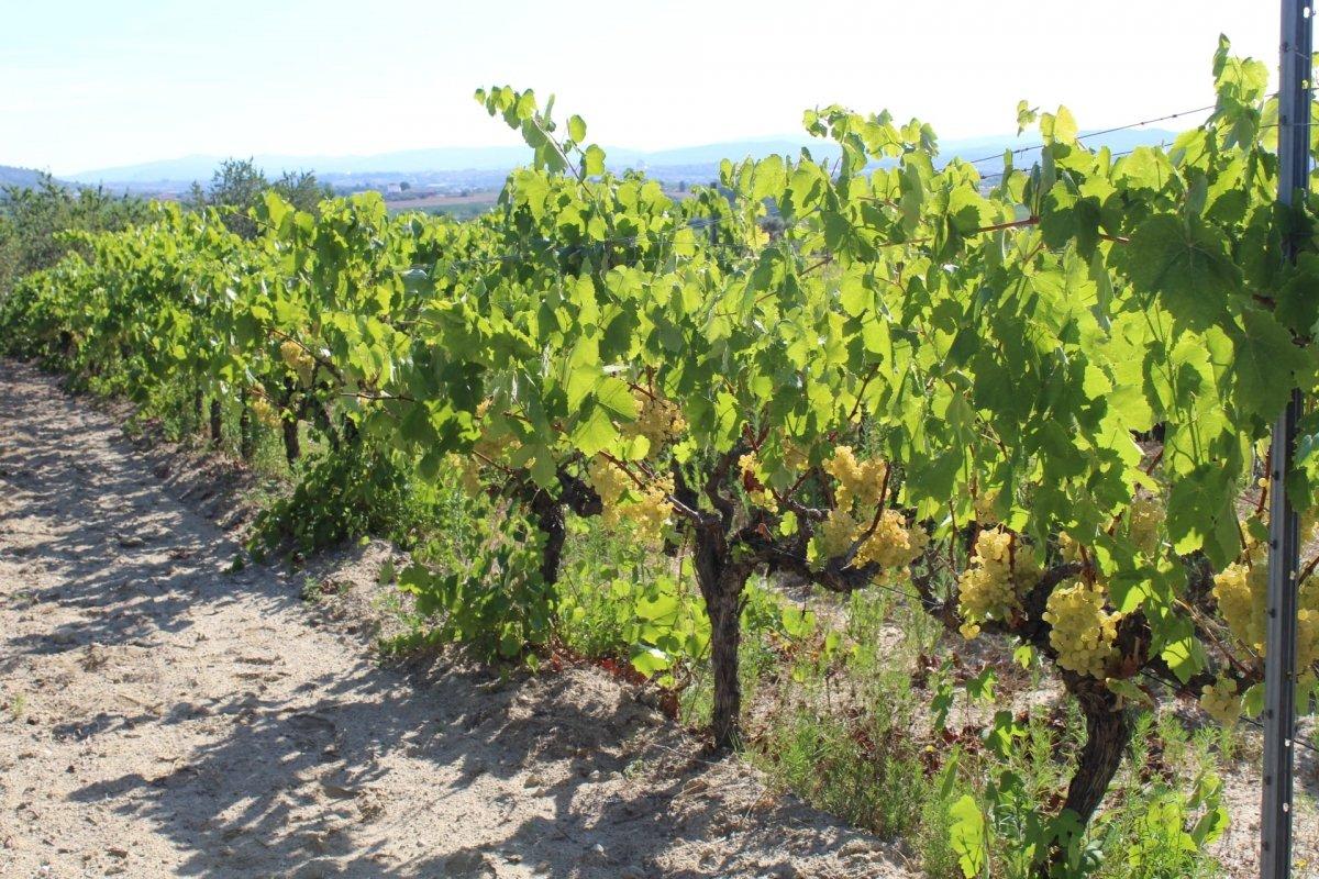 Vinya en la cuál nace el vino Vinya Oculta